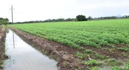 Frío causa plagas en siembras de frijol Los productores temen un fenómeno como el ocurrido en el 2012, donde perdieron todo por las bajas temperaturas