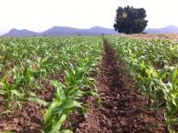Quien no registre sus cultivos, no tendrá apoyos: Cesavesin