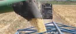 Rechazan productores propuesta de 44 dlls para el maíz