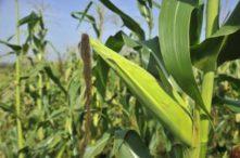 Presiona diésel  a productos de maíz  y granos