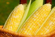 Incrementan expectativas de producción mundial de maíz