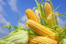 La consolidación de las cosechas estadounidenses ajustan el cinturón del maíz