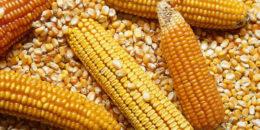 Mayor consumo de maíz de eu podría mantener los precios altos