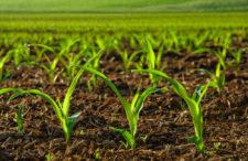 A pesar del  clima,  EU siembró más maíz qué en 2018