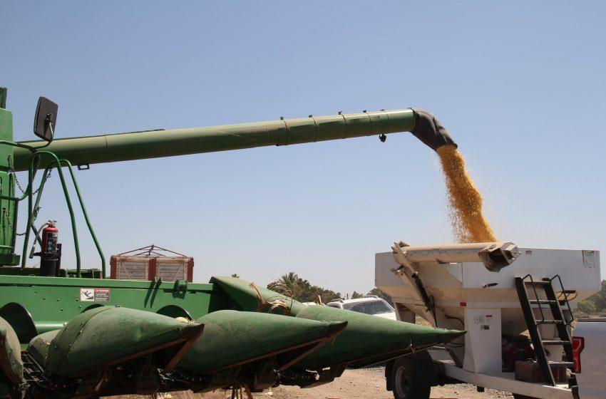 Demuestran buenos rendimientos con maíz amarillo con prácticas sostenibles en MasAgro: CIMMYT y AARC